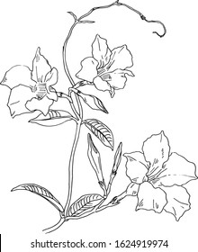 Hand drawn mandevilla illustration. Blooming trailing plant rocktrumpet. Black and white vector drawing of a climbing vine with flowers. Climbing vine
