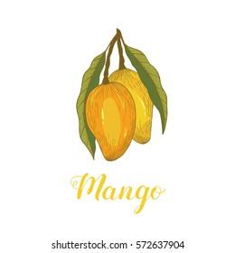 Hand drawn mango icon. Tropical background.Mango fruit illustration. Exotic template with mango.