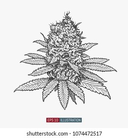 Hand drawn marijuana. Leaves and buds. Cannabis bubs isolated. Template for your design works. Engraved style vector illustration.