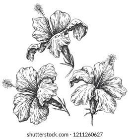 Hand drawn monochrome hibiscus isolated on white. Black and white closeup tropical flowers vector sketch.