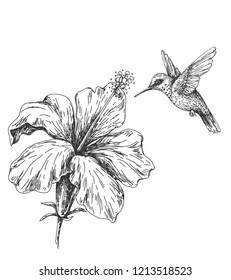Hand drawn monochrome humming bird and hibiscus. Black and white illustration with flying small hummingbird and flower.  Vector sketch.