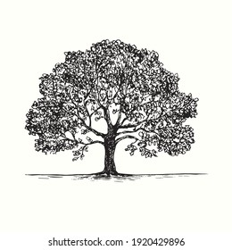 Hand drawn oak tree. Ink black and white drawing. Vector illustration