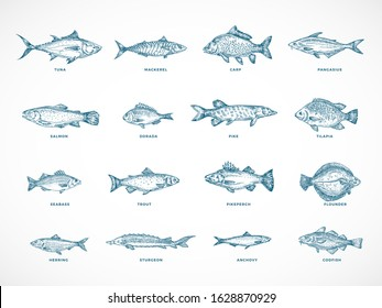 Hand Drawn Ocean or Sea and River Fish Illustration Bundle. A Collection of Salmon and Tuna or Pike and Anchovy, Herring, Trout, Dorado Sketches Silhouettes. Isolated.