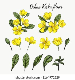 Hand drawn Ochna Kirkii yellow flower element on white
