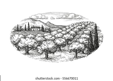 Hand drawn olive grove landscape. Isolated on white background. Vintage style vector illustration.