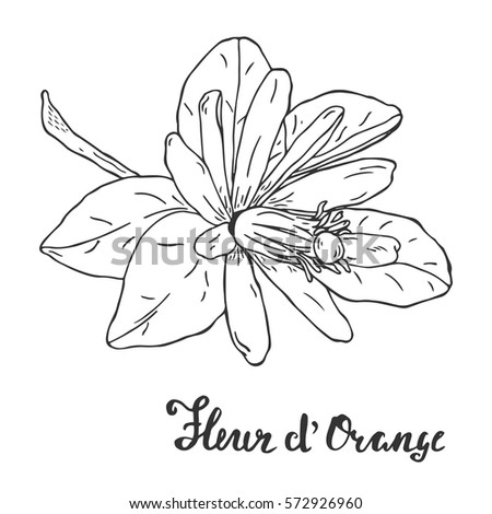 hand drawn orange blossom sketch coloring stock vector royalty free