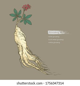 Hand drawn outline color illustration of ginseng by retro and vintage style, drawing by engraved dot and line. include ginseng root, leaves and berries isolated on a dark background.