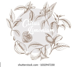 Hand drawn outline vector botanical illustration of lemon's lifecycle.  Doodle, sketch Botanical citrus seeds, leaves and fruits.
