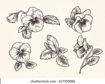 Hand drawn pansy flowers, vector illustration. Vintage style.