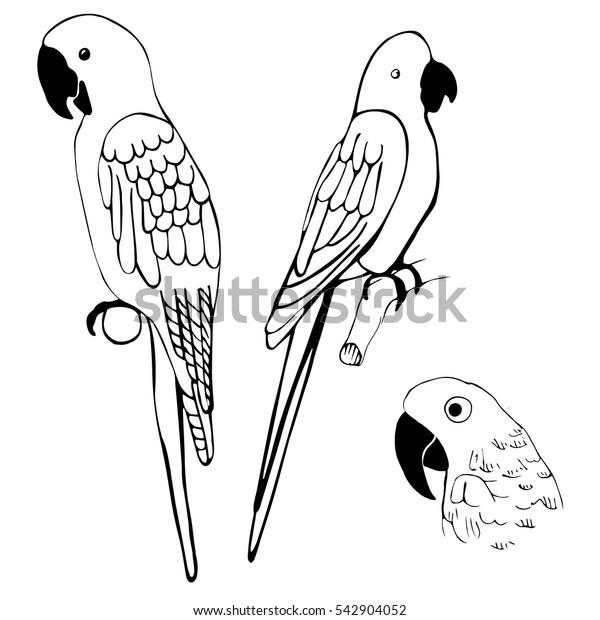 Hand drawn parrots. Vector illustration.
