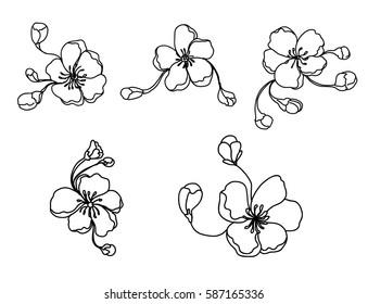 hand drawn peach blossom or Sakura flower