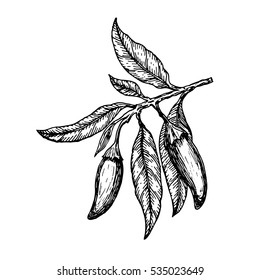 Hand drawn ?hili peppers on a branch. Vector illustration.