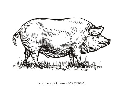 Hand drawn pig. Sketch vector illustration