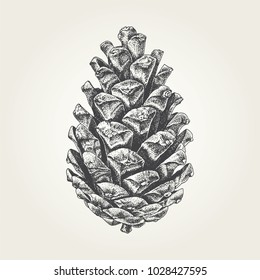 Hand drawn pine cone. Vintage vector illustration