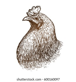 Hand drawn portrait of chicken. Poultry farm, animal, domestic fowl sketch. Vintage vector illustration