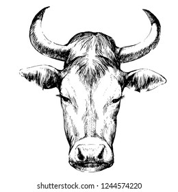 Hand drawn portrait of a cow, pen and ink drawing, vector illustration. Traced.