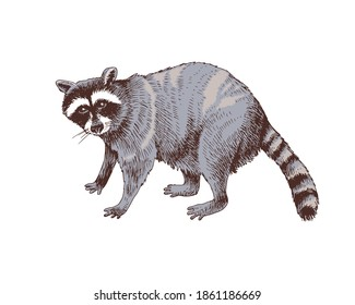 Hand drawn raccoon. Colorful vector illustration in retro style