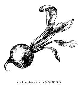 Hand Drawn radish, organic eco food. Sketch ink radish. Engraved illustration