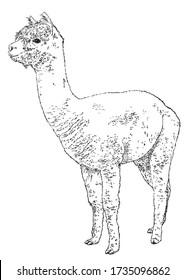 Hand drawn realistic sketch of alpaca  Vector illustration