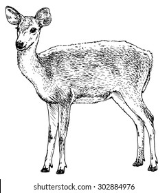 Hand drawn realistic sketch of a deer, isolated on white background