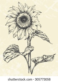 Hand drawn realistic Vintage sunflower pen and ink illustration isolated