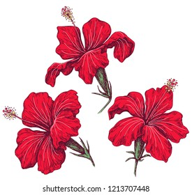 Hand drawn red hibiscus isolated on white. Bright beautiful closeup tropical flowers vector sketch.