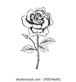 Hand drawn rose flower and leaves drawing illustration isolated on white background.