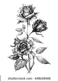 Hand drawn rose vector etch style