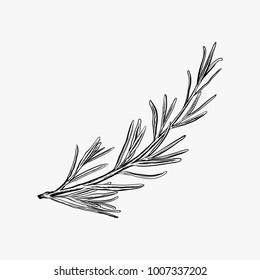 Hand drawn rosemary vector illustration-rosemary logo design inspiration