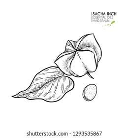 Hand drawn sacha inchi star capsula. Engraved vector illustration. Medical, cosmetic plant. Moisturizing serum,essential oil. For cosmetics, medicine, treating, aromatherapy package design skincare.