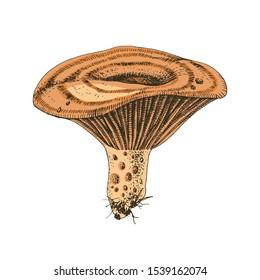 Hand drawn Saffron Milk Cap mushroom. Vector illustration