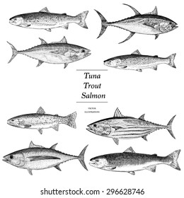 Hand Drawn Salmon Tuna and Trout Illustrations