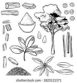 Hand drawn Sandalwood(Santalum) set. Vector sketch  illustration.