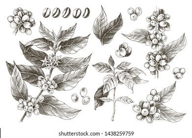 Hand drawn set of coffee tree branches and beans. Vector illustration in vintage style