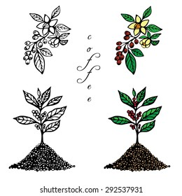 Hand drawn set . A coffee tree  and coffee branch with flowers and fruits on white background