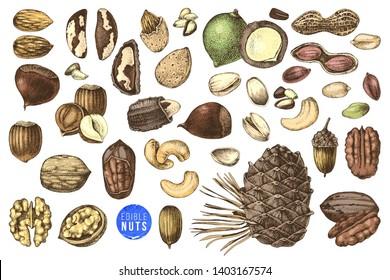 Hand drawn set of colorful edible nuts - acorn, pecan, macadamia, pine nuts, walnut, almond, pistachio, chestnut, peanut, brazil nut, hazelnut and cashew. Vector illustration