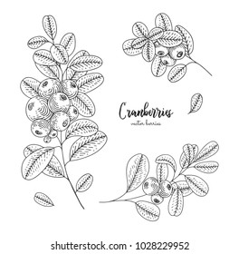 Hand drawn set with cranberries. Design for package of health and beauty natural products. Engraving sketch vintage style. Applicable for menu, promotion, wrapping paper, cosmetics packaging