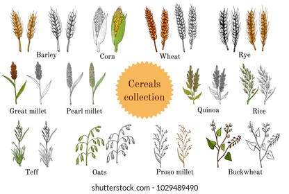 Hand drawn set of culinary agricultural cereals. Vector illustration