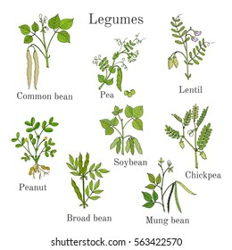 Hand drawn set of culinary agricultural legume plants. Vector illustration