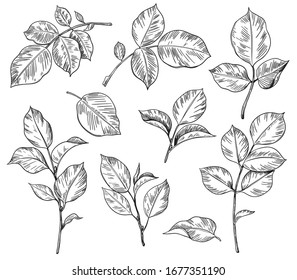 Hand drawn set of rose leaves isolated on white background. Monochrome floral elements, plant parts vector sketch.