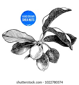 Hand drawn shea nuts branch. Vector illustration in vintage style