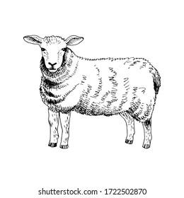 Hand drawn sheep. Farm animal. Vector illustration in retro style