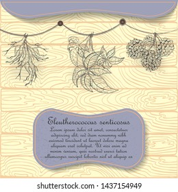 Hand Drawn Siberian Ginseng Hung on the Rope for Drying under the Shed. Hand Drawn Wooden Background. Nameplate with the Latin Name Eleutherococcus Senticosus. Leaflet for Traditional Herbal Medicine