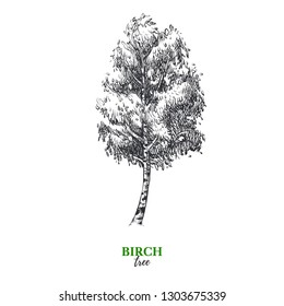 Hand drawn sketch birch tree illustration. Vector isolated vintage background