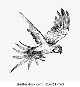Hand drawn sketch black and white vintage exotic tropical bird parrot macaw flying. Vector illustration isolated object