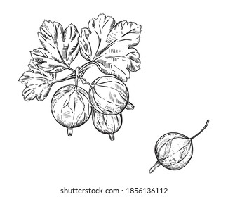 Hand drawn sketch black and white set of gooseberry branch, leaf and berry. vector illustration. Dewberry. Elements in graphic style label, card, sticker, menu, package, poster.