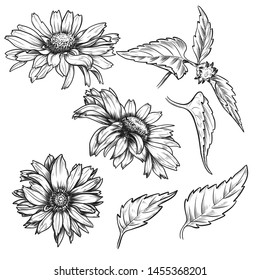 Hand drawn sketch daisies set, vintage pen and ink etching, isolated on white background. Floral engraving botanical illustration.
