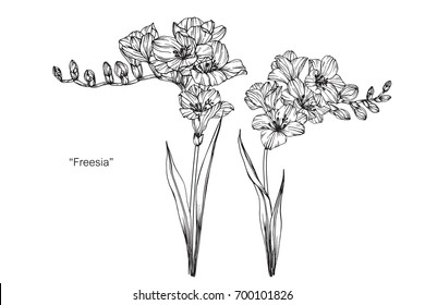 Hand drawn and sketch Freesia flower. Black and white with line art illustration.