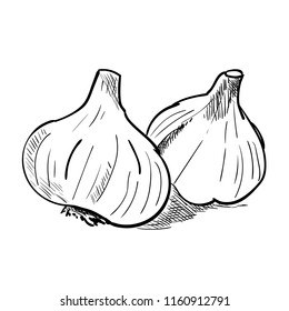 Hand drawn sketch of garlic. Vintage engraved illustration. Botanical garlic. Vegetarian food drawing. Vector illustration for restaurant menu design