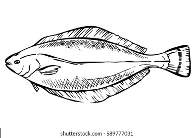 Hand drawn Sketch Halibut fish. Seafood design elements. Seafood / fish menu. Ink illustration. engraving fish isolated on white background